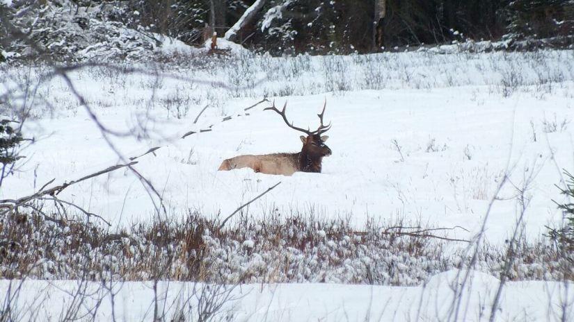 elk sitting on snow near lake louise 3