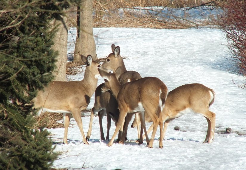 five deer on pathway at lynde shores - whitby