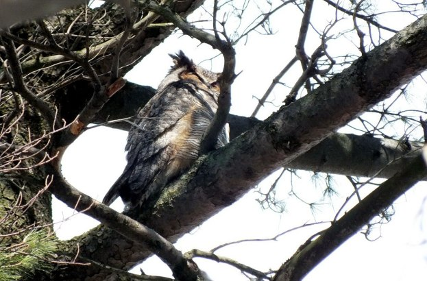 great horned owl in thicksons woods - whitby 3