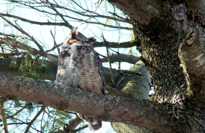 great horned owl in thicksons woods - whitby 7