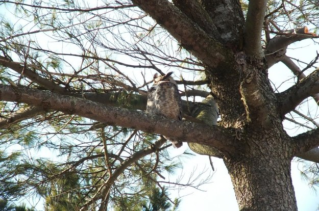 great horned owl in thicksons woods - whitby 8