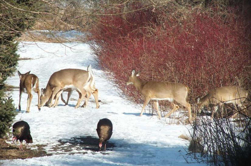 herd of deer cross pathway at lynde shores - whitby