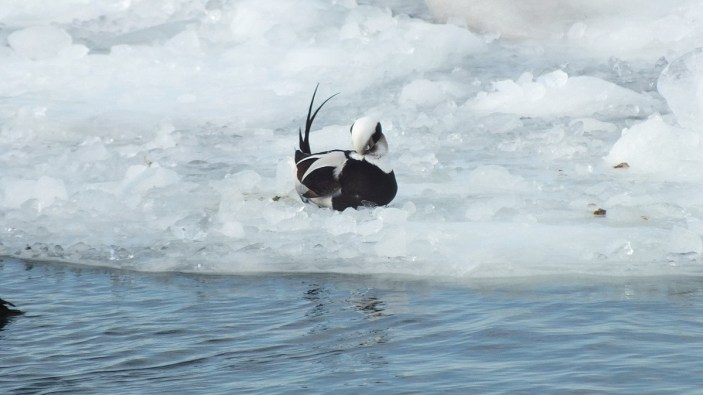 long tailed duck sits on ice in toronto harbour