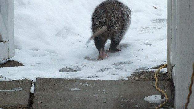 opossum heads into backyard - toronto 1