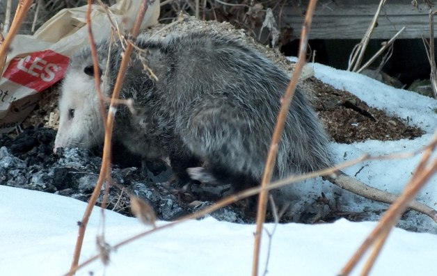 opossum in toronto backyard - 4