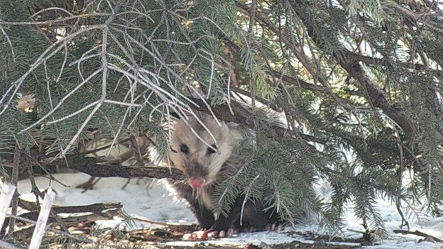 possum looks to camera under tree - toronto