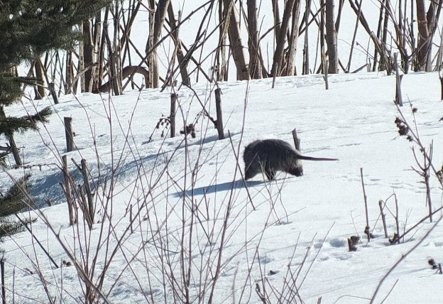 possum walks on snow in toronto 2
