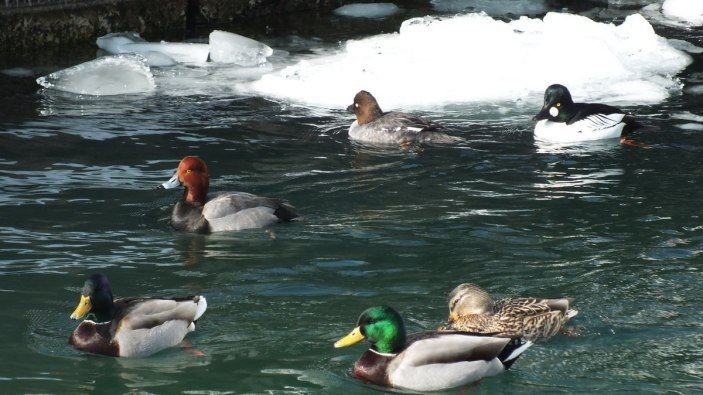 redhead duck and other ducks in toronto harbour