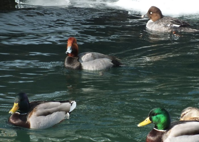 redhead duck in icy toronto harbour