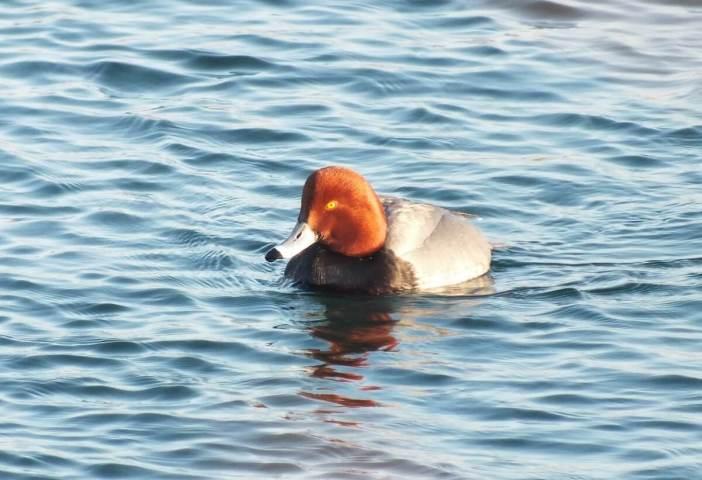 redhead duck in toronto harbour