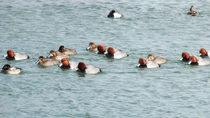 redhead ducks swimming together toronto harbour