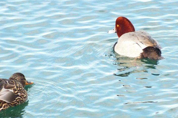 redhead ducks toronto harbour