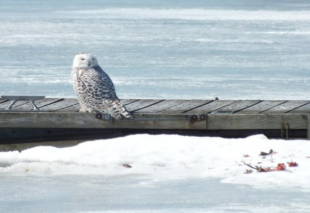 Snowy owl sitting on dock beside bird kill at Colonel Samuel Smith Park in Etobicoke, Ontario, Canada