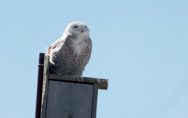 Snowy Owl sitting atop a birdhouse at Colonel Samuel Smith Park in Etobicoke, Ontario, Canada