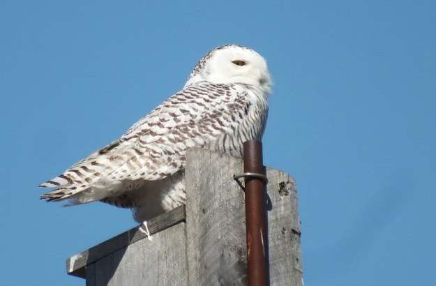 Snowy owl sitting on a birdhouse at Colonel Samuel Smith Park in Etobicoke, Ontario, Canada