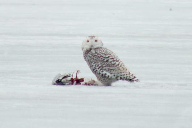 Snowy owl on the ice with kill at Frenchmans Bay in Pickering, Ontario, Canada
