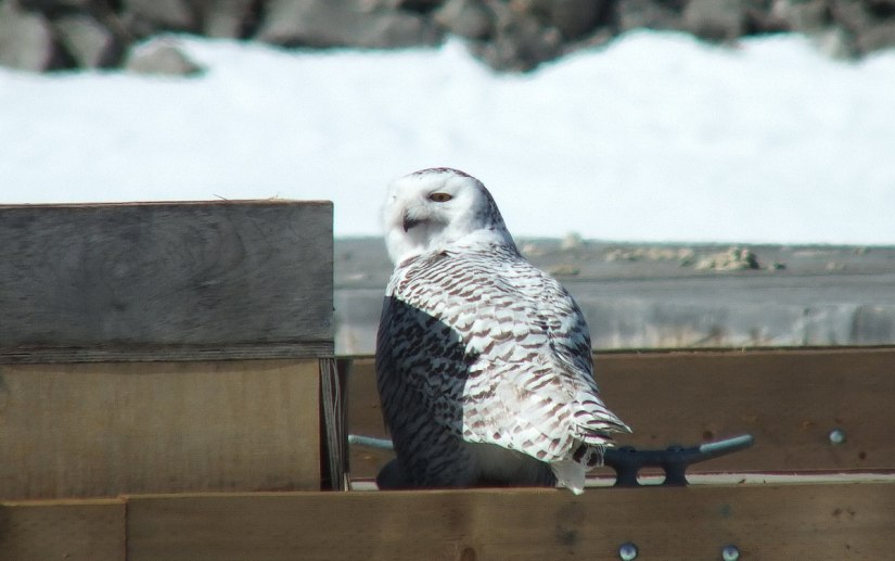 Snowy Owl sitting on edge of dock at Colonel Samuel Smith Park in Etobicoke, Ontario, Canada
