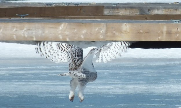 Snowy Owl flying above the ice at Colonel Samuel Smith Park in Etobicoke, Ontario, Canada