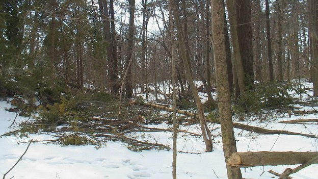trees down in thicksons woods - whitby