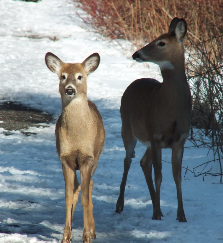 two deer along pathway at lynde shores - whitby