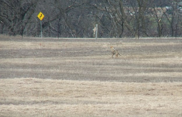 An image of an Eastern coyote in field beside Grass Lake near Cambridge, Ontario, Canada.