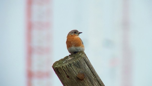 An image of an eastern bluebird female sitting on a wooden post along brant waterloo road near Cambridge, Ontario.  Photography by Frame To Frame - Bob and Jean.