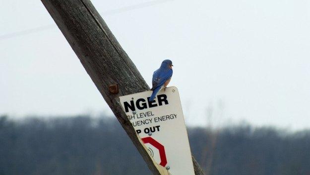 eastern bluebird male along brant waterloo road_cambridge_ontario 20