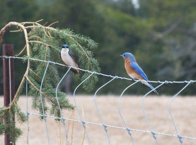 eastern bluebird male along brant waterloo road_cambridge_ontario 6