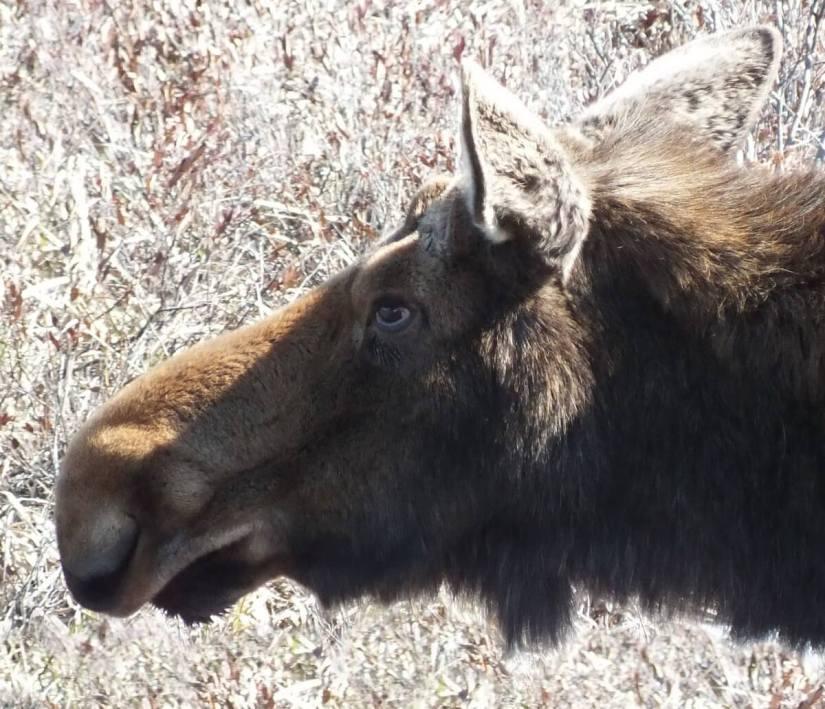 moose in algonquin park_ontario_spring2014 - 2