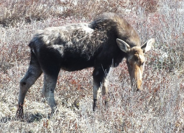 moose in algonquin park_ontario_spring2014 - 4