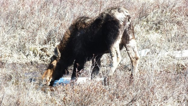 moose in algonquin park_ontario_spring2014 - 6