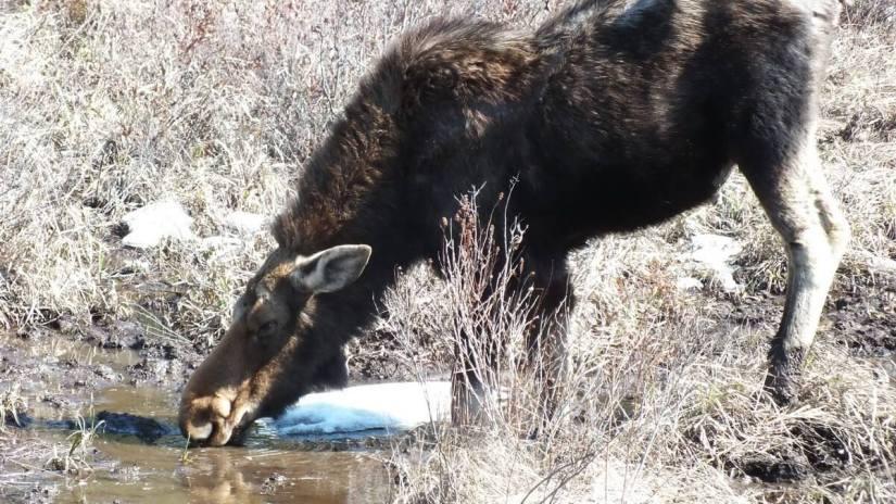 moose in algonquin park_ontario_spring2014 - 7