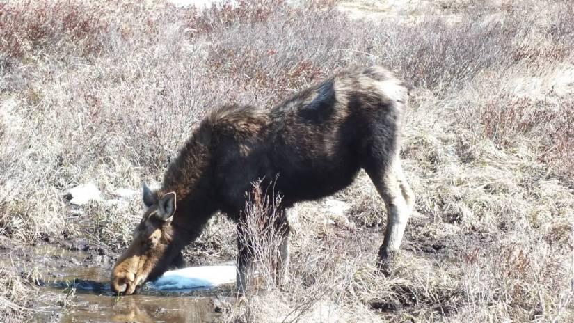 moose in algonquin park_ontario_spring2014