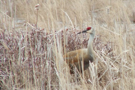 sandhill crane at grass lake near cambridge - ontario 4