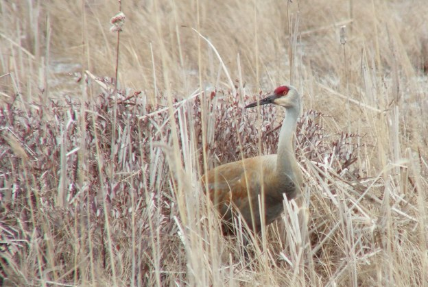 An image of a Sandhill crane among bushes and grass at Grass Lake near Cambridge, Ontario, Canada.