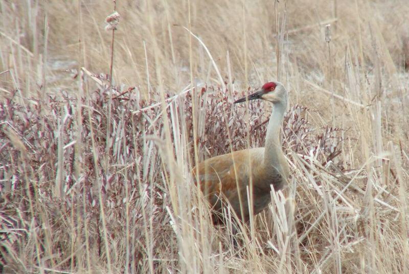 An image of a Sandhill crane among bushes and grass at Grass Lake near Cambridge, Ontario, Canada.