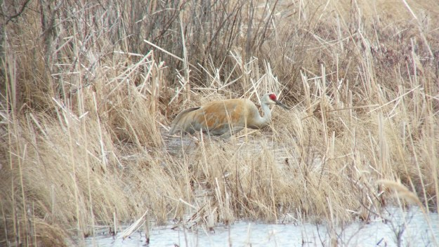 An image of a Sandhill crane along the shore at Grass Lake near Cambridge, Ontario, Canada.