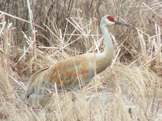 sandhill crane at grass lake near cambridge - ontario 8