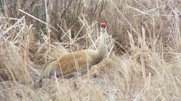 An image of a Sandhill crane looking towards camera at Grass Lake near Cambridge, Ontario, Canada.