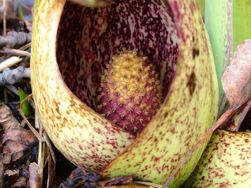 skunk cabbage_dickson Conservation area_ontario