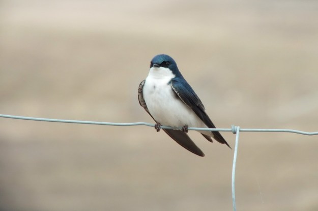 tree swallow near grass lake_cambridge_ontario 4