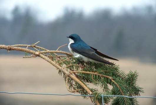 tree swallow near grass lake_cambridge_ontario 5