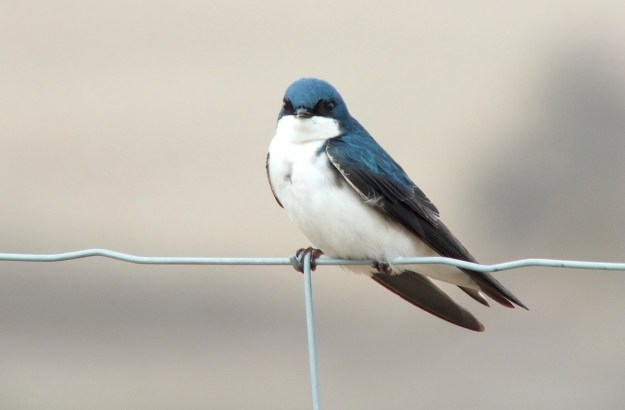 tree swallow near grass lake_cambridge_ontario 6