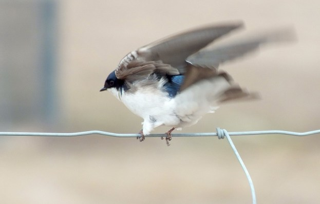 tree swallow near grass lake_cambridge_ontario 7