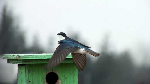 tree swallows near grass lake_cambridge_ontario 2