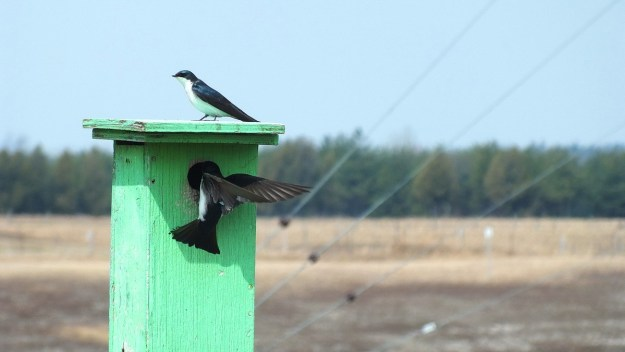 tree swallows near grass lake_cambridge_ontario 5