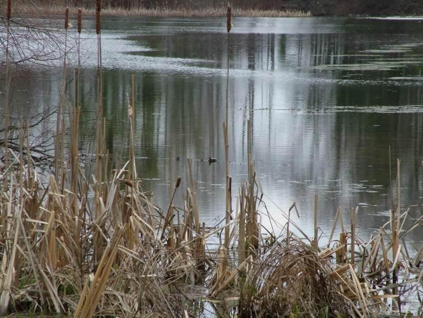 turtle on pond_dickson Conservation area_ontario 12