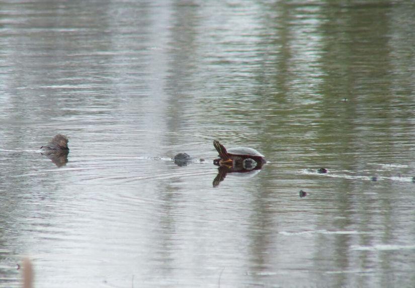 turtle on pond_dickson Conservation area_ontario