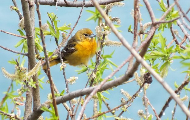 Baltimore Oriole female at buds on bush - Rosetta McClain Gardens - toronto