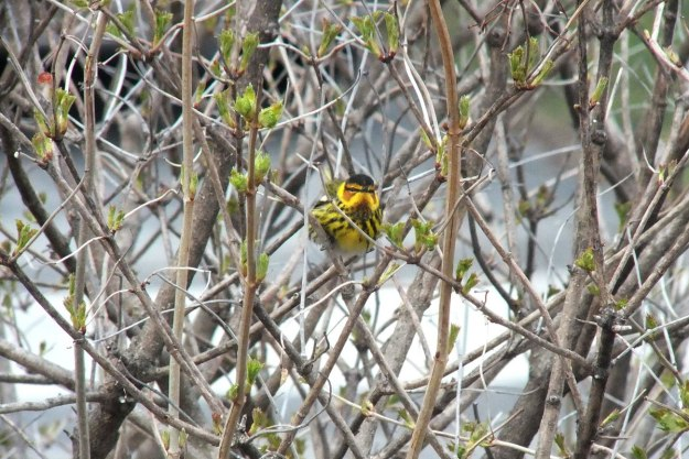 Cape May Warbler in bush - toronto 2
